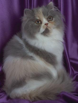 El Gato Doméstico